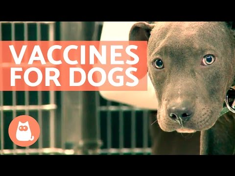 Vaccinations For Dogs:  Puppies And Adults