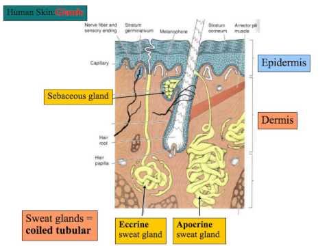Skin Appendages-Hair, Nails, Glands