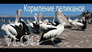Кормление пеликанов город Энтранс. #жизнь_в_Австралии #Австралия