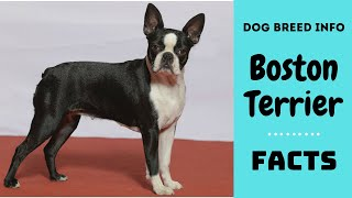 Boston Terrier dog breed. All breed characteristics and facts about Boston Terrier dogs