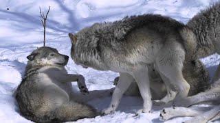 А Вы Знаете Как Устроена Волчья СТАЯ ?