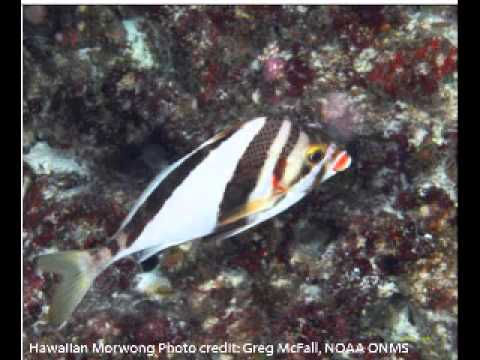 Species of the Northwestern Hawaiian Islands Exhibit at the Waikiki Aquarium.wmv
