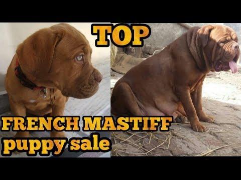 French mastiff puppy for sale