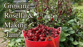 Rosella Growing Harvesting & Jam Making