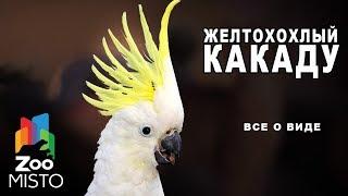 Желтохохлый какаду - Все о виде попугаев | Вид попугая - желтохохлый какаду
