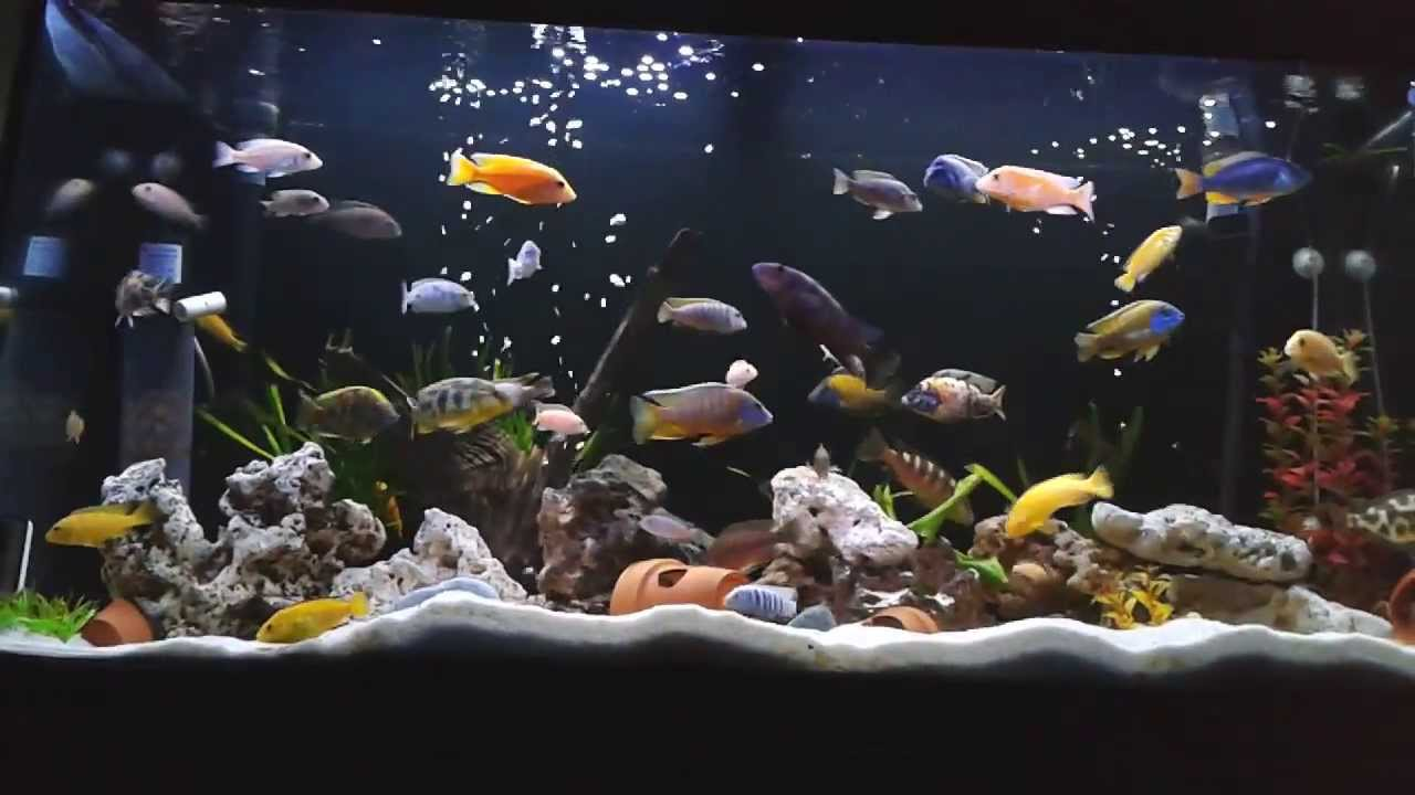acuario comunitario 350ltrs ciclidos africanos variados