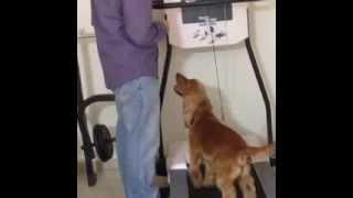 Osho - English Cocker Spaniel First Time On Treadmill