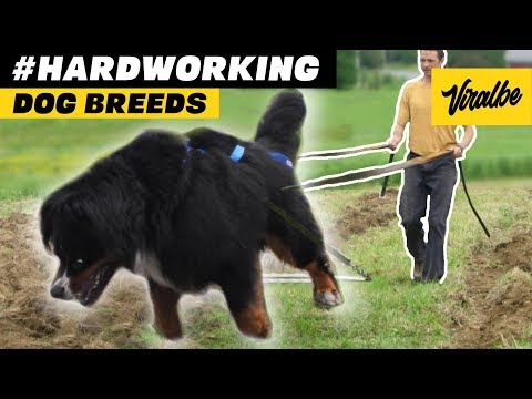 10 Hard Working Farm Dog Breeds