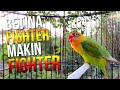 Lovebird Fighter Jadi Tambah Fighter Dengar Masteran Ini  Mp3 - Mp4 Download