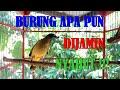 Pancingan Segala Jenis Burung Ocehan  Mp3 - Mp4 Download