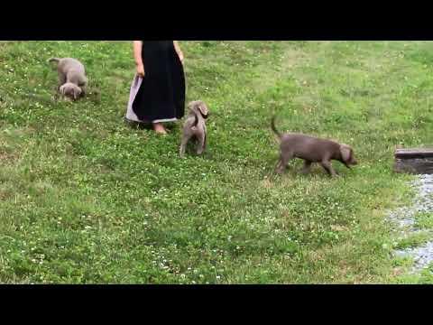 Labrador Retiever Silver Puppies For Sale Kate Zook