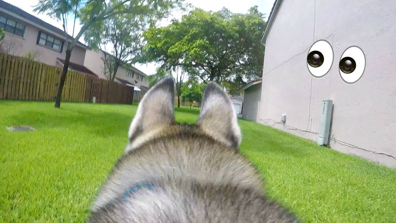A Day in My Husky's Point of View! - GoPro on my Dog! Wow!