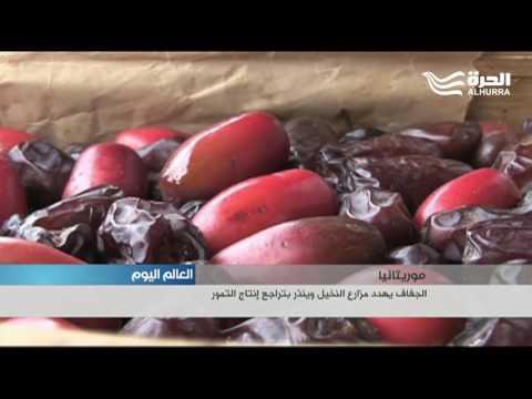 موريتانيا.. الجفاف يهدد مزارع النخيل وينذر بتراجع إنتاج التمور  - 20:21-2017 / 7 / 19