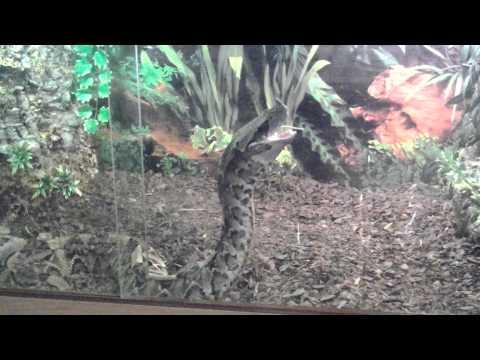 Jumbo mouse...Gaboon Viper feeding