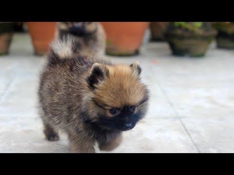 Pomeranian playing ( dog vlog nepal ) funny cute Pomeranian video