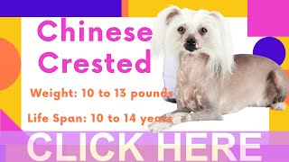 Dogs: Chinese Crested Dog Breed Information And Personality