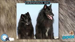 Groenendael dog  Everything Dog Breeds