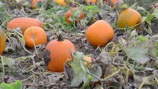 The farm that grows thousands of pumpkins for Halloween