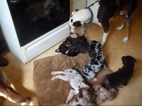 Catahoula Puppies Looking for Homes [Puppy Fever Warning]