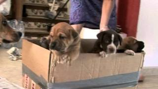 Puppies On Wheels, American Pitbull Terrier Puppies Ride The Puppy Train