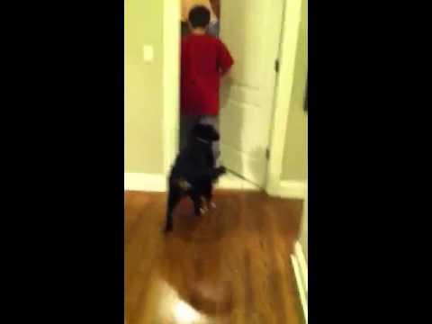 Bernese Mountain Dog - Reggie Learns a New Trick