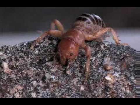 jerusalem-cricket-(family-stenopelmatidae)