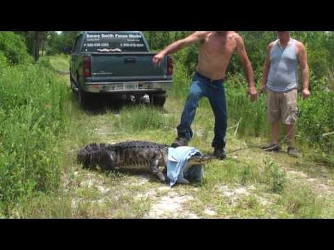 Alligator Caught 8 1/2 Feet Long