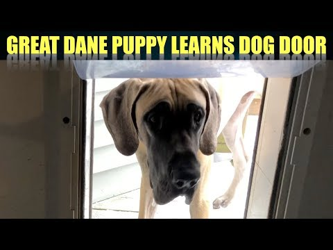TEACHING FINN THE GREAT DANE PUPPY TO USE A DOG DOOR!