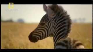 Grandes Migrações - Zebras