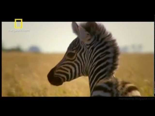 Grandes Migrações - Zebras Travel Video