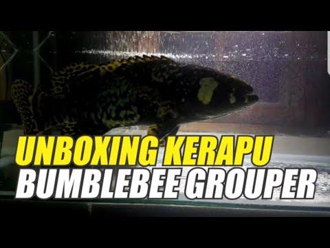 UNBOXING IKAN KERAPU BUMBLEBEE GROUPER#kerapuairtawar#bumblebeegrouper