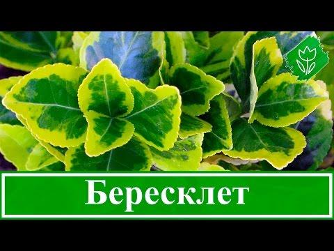 Как выглядит растение бересклет
