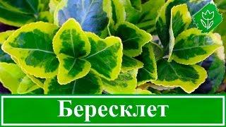 Растение бересклет – посадка и уход: размножение и обрезка бересклета – описание