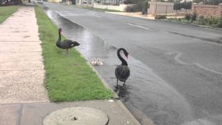 CYGNETS GET SUCKED INTO STORM WATER DRAIN DURING PERTHS WET WINTER  part 2/3