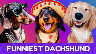 Try Not To Laugh! Funniest Dachshund Moments of 2020 #6