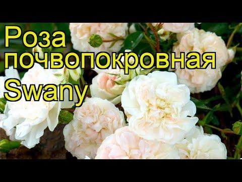 Роза почвопокровная Лебедь. Краткий обзор, описание характеристик, где купить саженцы Swany