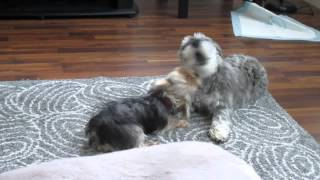 Schnauzer And Yorkie Playing