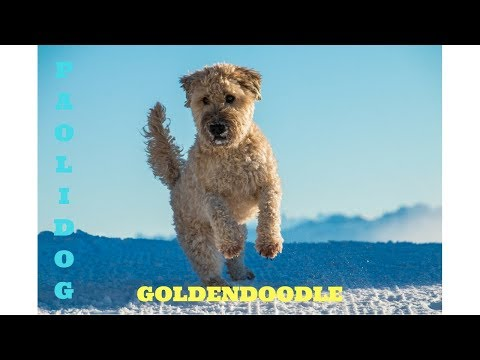 GOLDENDOODLE  (Top 10 interesting facts)