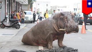 台湾・苗栗県で12月26日、トラックから飛び降り負傷したカバが、29日朝...