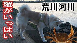 秋田犬今日も元気に過ごしています 何時もの荒川河川敷さわ蟹が沢山いま...