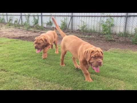 Dogue de Bordeaux dogs for sale by Euro Puppy