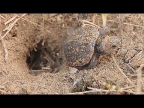 Watch these Painted Turtles Laying Eggs and Hatching!