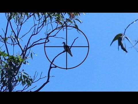Caza de palomas con Aire Comprimido...