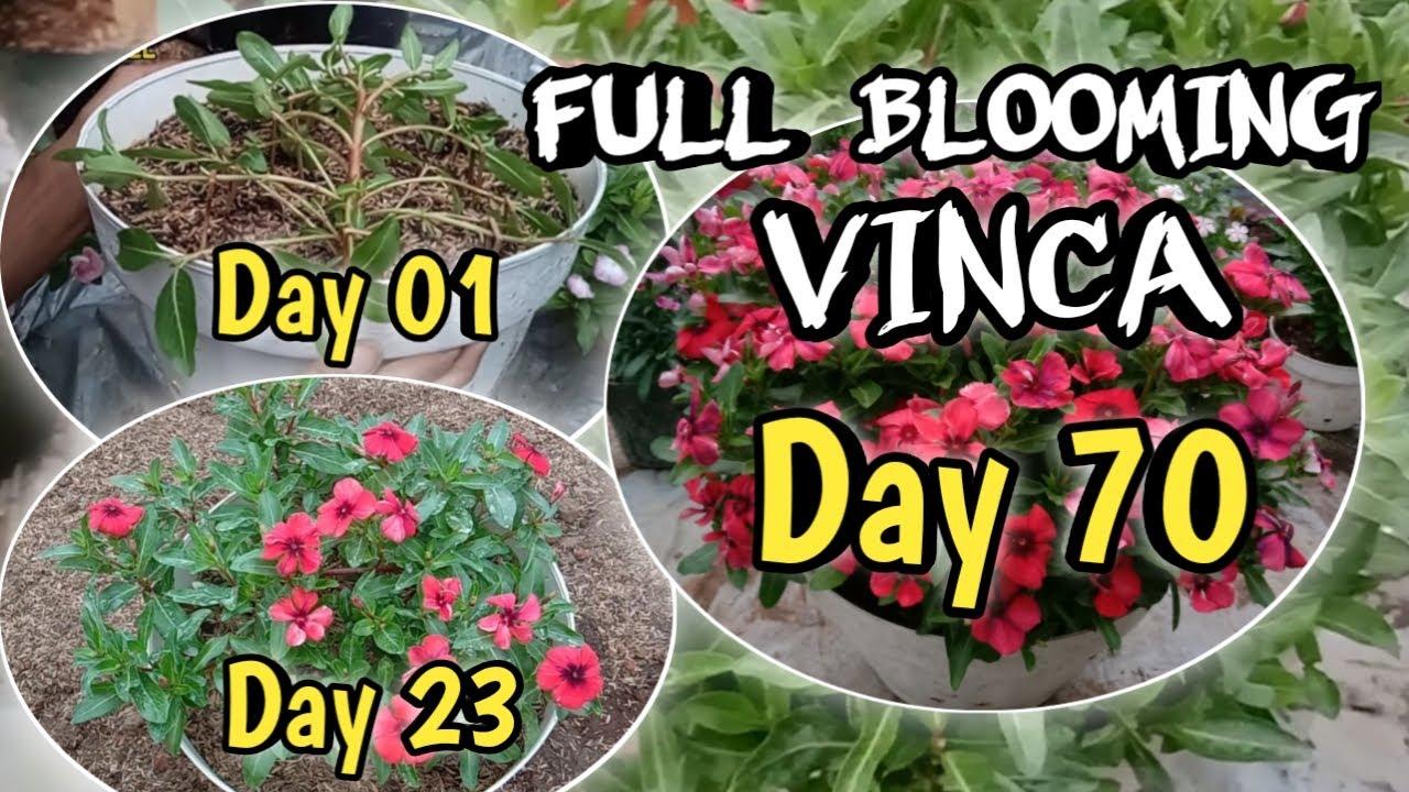 Vinca Full Blooming Creative Ideas Of Growing Vinca Flowers Youtube