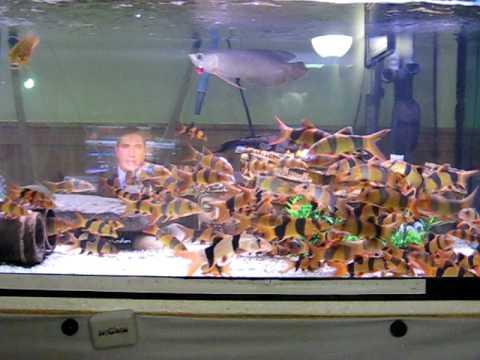 Fish Tank Wallpaper Hd Clown Loaches Tank Rtg Youtube