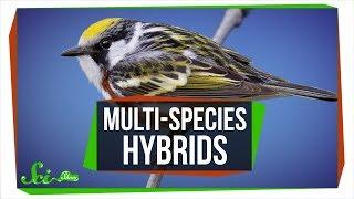 when-three-species-combine-multi-species-hybrids