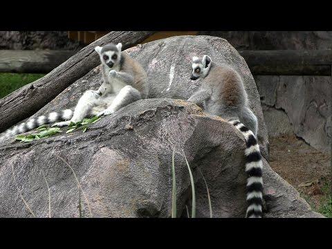 Ring-tailed Lemurs UHD 4K FYV