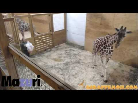 Giraffe Mom (April) Nighttime Activities March 2, 2017