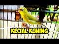 Kecial Kuning Super Gesit Cocok Jadi Pancingan Kecial Males Bunyi  Mp3 - Mp4 Download