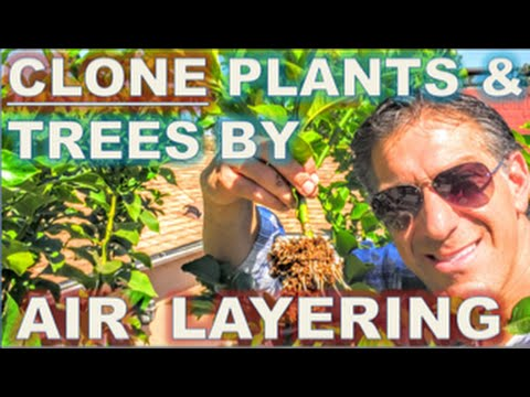 CLONE Your Favorite Plants & Trees | AIR LAYERING | Simple P